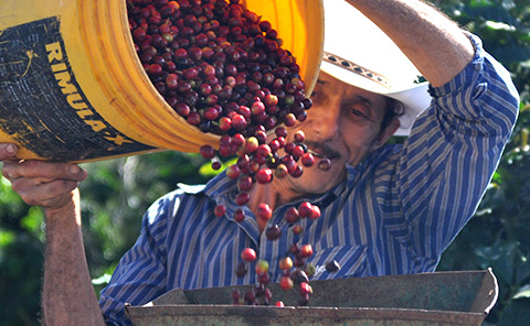 Coffee cherry pulping